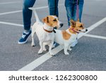 Stock photo outdoor shot of two pedigree dogs on leashes have walk unrecognizable people stand near pose on 1262300800
