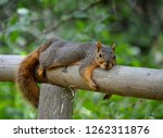 Squirrel Laying On Fence