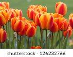 Orange Red Tulips In The Sprin...
