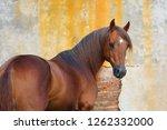 portrait of a chestnut horse...   Shutterstock . vector #1262332000