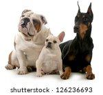 Stock photo three different breeds of dogs isolated on white background french bulldog english bulldog and 126236693