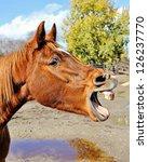 Chestnut Arabian Mare Yawning