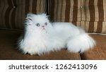 beautiful white fluffy persian... | Shutterstock . vector #1262413096