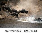 Wildebeest Leap Of Faith Into...