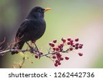 Small photo of One of the most familiar birds in parks and gardens of Europe, the common blackbird. This one is perched on a hawthorn branch with some red fruits.