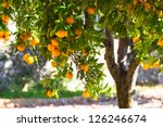 Orange Tree With Ripe Fruits I...