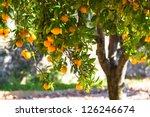 Orange Tree With Ripe Fruits I...