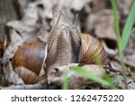 Gastropods. Two Land Snails...