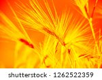golden ears of wheat on the... | Shutterstock . vector #1262522359