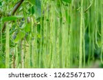 long bean in farm  | Shutterstock . vector #1262567170