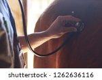 veterinarian exam horse with... | Shutterstock . vector #1262636116