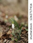 snowdrops  galanthuses  in... | Shutterstock . vector #1262717416