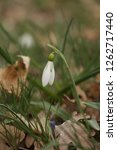 snowdrops  galanthuses  in... | Shutterstock . vector #1262717440