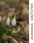 snowdrops  galanthuses  in... | Shutterstock . vector #1262717443