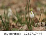 snowdrops  galanthuses  in... | Shutterstock . vector #1262717449