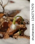snowdrops  galanthuses  in... | Shutterstock . vector #1262717470
