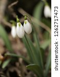 snowdrops  galanthuses  in... | Shutterstock . vector #1262717473