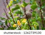 female house finch | Shutterstock . vector #1262739130
