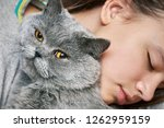 british shorthair tomcat lying... | Shutterstock . vector #1262959159