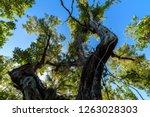 mahogany hammock trail  a... | Shutterstock . vector #1263028303