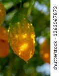 bitter melon  bitter gourd or... | Shutterstock . vector #1263067873