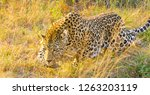 Close up of an African Leopard, Camouflaged wild cat walking in the grass in a South African Game Reserve - stock photo