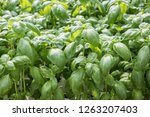 image of lush green cabbage... | Shutterstock . vector #1263207403