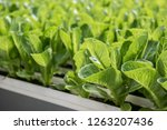 image of lush green cabbage... | Shutterstock . vector #1263207436