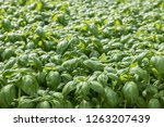 image of lush green cabbage... | Shutterstock . vector #1263207439