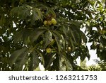 a local farm with cherimoya... | Shutterstock . vector #1263211753