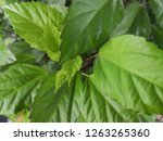 green nature leave background  | Shutterstock . vector #1263265360