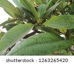 green leaves nature background  | Shutterstock . vector #1263265420