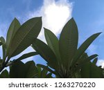 green leaves with blue sky and... | Shutterstock . vector #1263270220