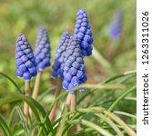 blooming grape hyacinths ...   Shutterstock . vector #1263311026