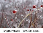 Isolated Bright Red Rosehip...