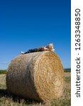 boy lying on circular hay bale... | Shutterstock . vector #1263348850