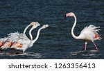 pink flamingos in confrontation ... | Shutterstock . vector #1263356413
