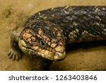 lizard close up | Shutterstock . vector #1263403846