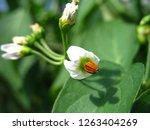 Beautiful White Potato Flowers...