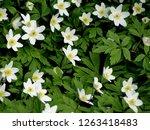 anemone nemorosa  wood anemones ... | Shutterstock . vector #1263418483