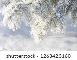 The Spruce Fir Branches In The...