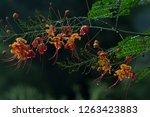 flamboyant flowers  delonix... | Shutterstock . vector #1263423883