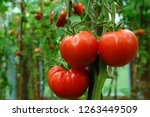 Red And Ripe Tomatoes