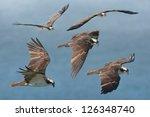 Flying With Osprey. Latin Name...