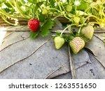 strawberry in farm | Shutterstock . vector #1263551650