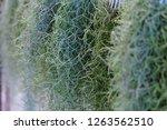 spanish moss in the garden. | Shutterstock . vector #1263562510