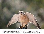 the australian nankeen kestrel... | Shutterstock . vector #1263572719