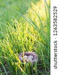 eggs in nest outdoor   Shutterstock . vector #1263582529