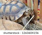 big turtle in the zoo. | Shutterstock . vector #1263604156
