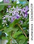 purple cheddar bouquet or... | Shutterstock . vector #1263604159